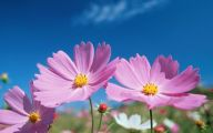 Cosmos Flower Wallpapers  27 Cool Wallpaper