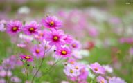 Cosmos Flower Wallpapers  29 Background Wallpaper