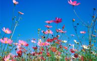 Cosmos Flower Wallpapers  3 Cool Wallpaper