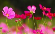 Cosmos Flower Wallpapers  32 Desktop Wallpaper