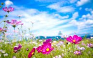 Cosmos Flower Wallpapers  34 Desktop Background