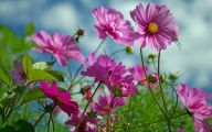 Cosmos Flower Wallpapers  35 Hd Wallpaper