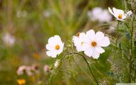 Cosmos Flower Wallpapers  37 Cool Wallpaper