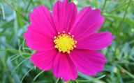 Cosmos Flower Wallpapers  4 Background