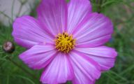 Cosmos Flower Wallpapers  6 Wide Wallpaper