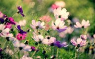 Cosmos Flower Wallpapers  8 Cool Wallpaper