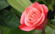 Flower Language Blue Rose  1 Desktop Background