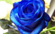 Flower Language Blue Rose  11 Cool Wallpaper