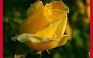 Flower Language Blue Rose  6 Free Hd Wallpaper