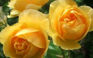 Flower Meaning Yellow Rose  15 Background Wallpaper