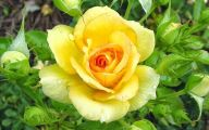 Flower Meaning Yellow Rose  16 Wide Wallpaper