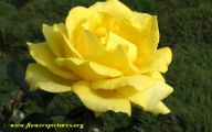 Flower Meaning Yellow Rose  3 Cool Wallpaper