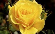 Flower Meaning Yellow Rose  7 Free Wallpaper