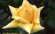 Flower Meaning Yellow Rose  8 Desktop Wallpaper