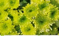 Green Colored Flowers  3 Wide Wallpaper