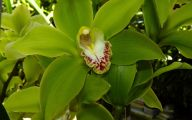 Green Cymbidium Orchid 47 Desktop Background