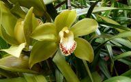 Green Cymbidium Orchid 51 Wide Wallpaper