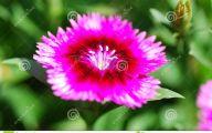 Green Dianthus Flowers  26 Desktop Background