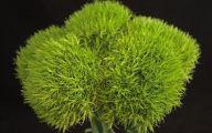 Green Dianthus Flowers  8 Background Wallpaper