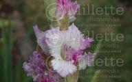 Green Gladiolus 47 Widescreen Wallpaper