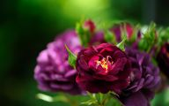 Midnight Blue Rose Flower  6 Desktop Wallpaper