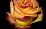 Picture Flower Rose Red Yellow  11 High Resolution Wallpaper