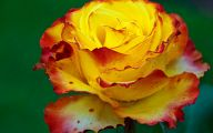 Picture Flower Rose Red Yellow  12 Cool Hd Wallpaper
