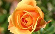 Picture Flower Rose Red Yellow  13 Background Wallpaper