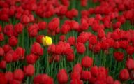 Picture Flower Rose Red Yellow  17 Desktop Background