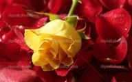 Picture Flower Rose Red Yellow  18 Background