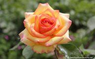 Picture Flower Rose Red Yellow  2 Desktop Wallpaper