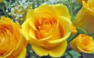 Picture Flower Rose Red Yellow  24 Background Wallpaper