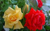 Picture Flower Rose Red Yellow  3 Wide Wallpaper