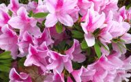 Pink Flowering Bushes And Shrubs  19 Cool Hd Wallpaper