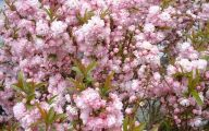 Pink Flowering Bushes And Shrubs  24 Background Wallpaper