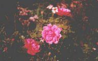 Pink Rose Flower Essence  1 Widescreen Wallpaper