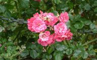 Pink Rose Flower Essence  13 Cool Hd Wallpaper