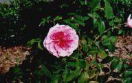 Pink Rose Flower Essence  3 Free Hd Wallpaper