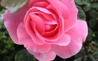 Pink Rose Flower Wallpaper  3 Widescreen Wallpaper