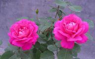 Pink Rose Flower Wallpaper  7 Hd Wallpaper