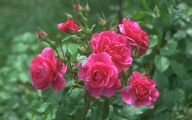 Pink Rose Flowers Images  17 Free Hd Wallpaper