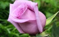 Purple Rose Flower  40 Wide Wallpaper
