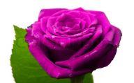 Purple Rose Flower  43 Background