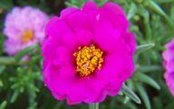 Purple Rose Flowers  1 Wide Wallpaper
