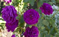 Purple Rose Flowers  5 Wide Wallpaper