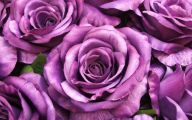 Purple Rose Flowers  7 Free Hd Wallpaper