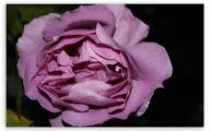 Purple Rose Like Flower  25 Cool Wallpaper