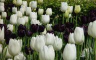 Queen Of The Night Tulip 19 Free Wallpaper