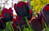 Queen Of The Night Tulip 28 Wide Wallpaper