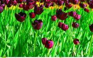 Queen Of The Night Tulip 32 Free Hd Wallpaper